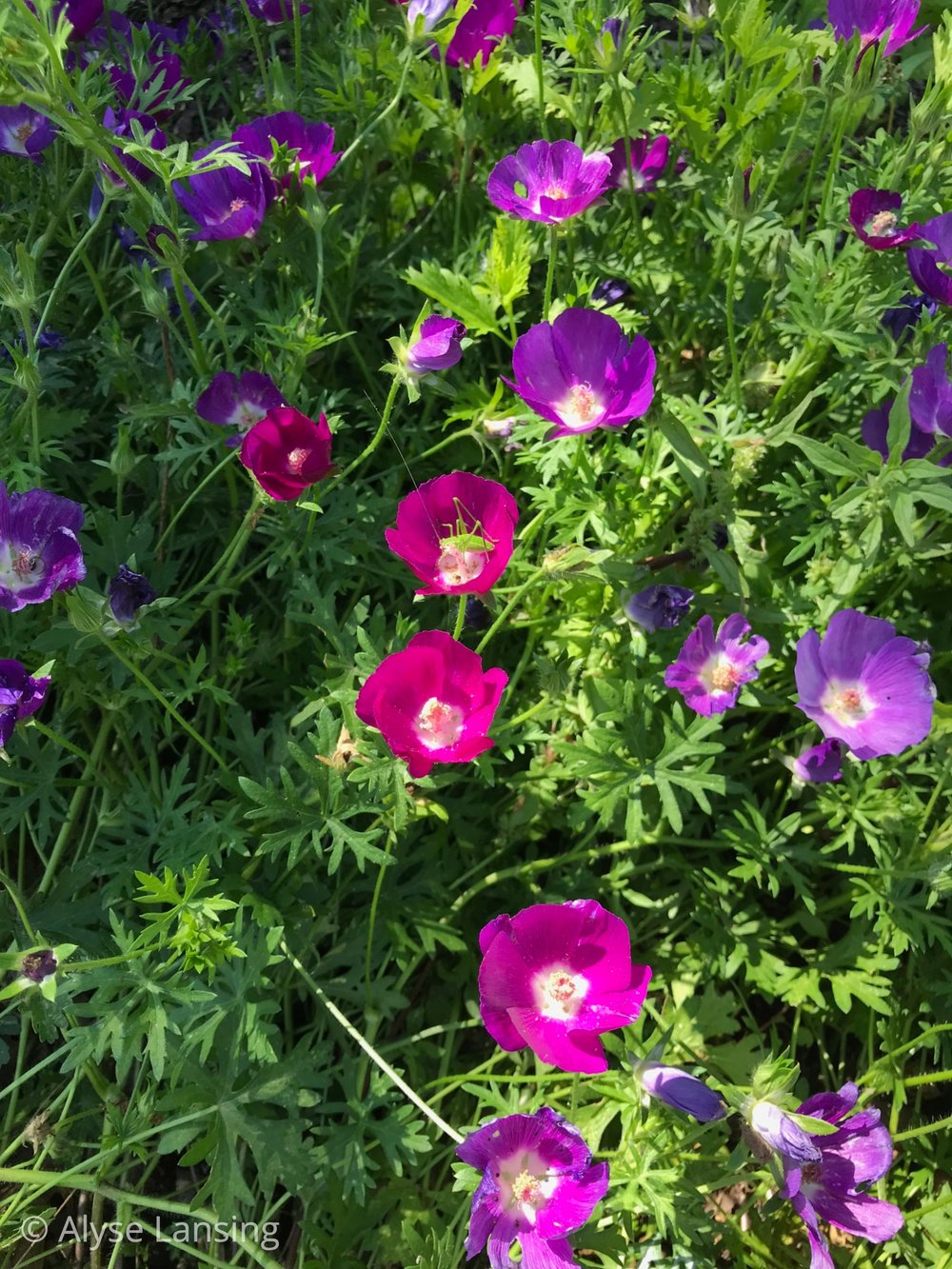 Purple Poppy-Mallow, or Winecups.  And green cricket-y critter enjoying the center.