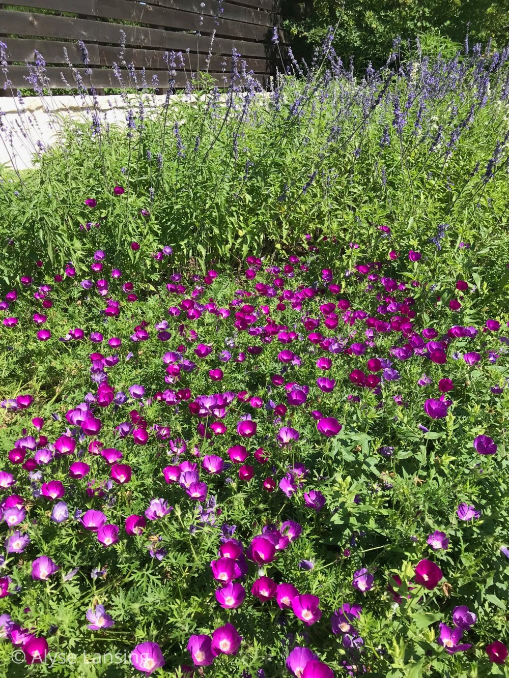 Outside the Robb Pavillion is a huge swath of  Winecups ,  Callirhoe involucrata . Also known as Purple Poppy-Mallow. It was radiant on this day.
