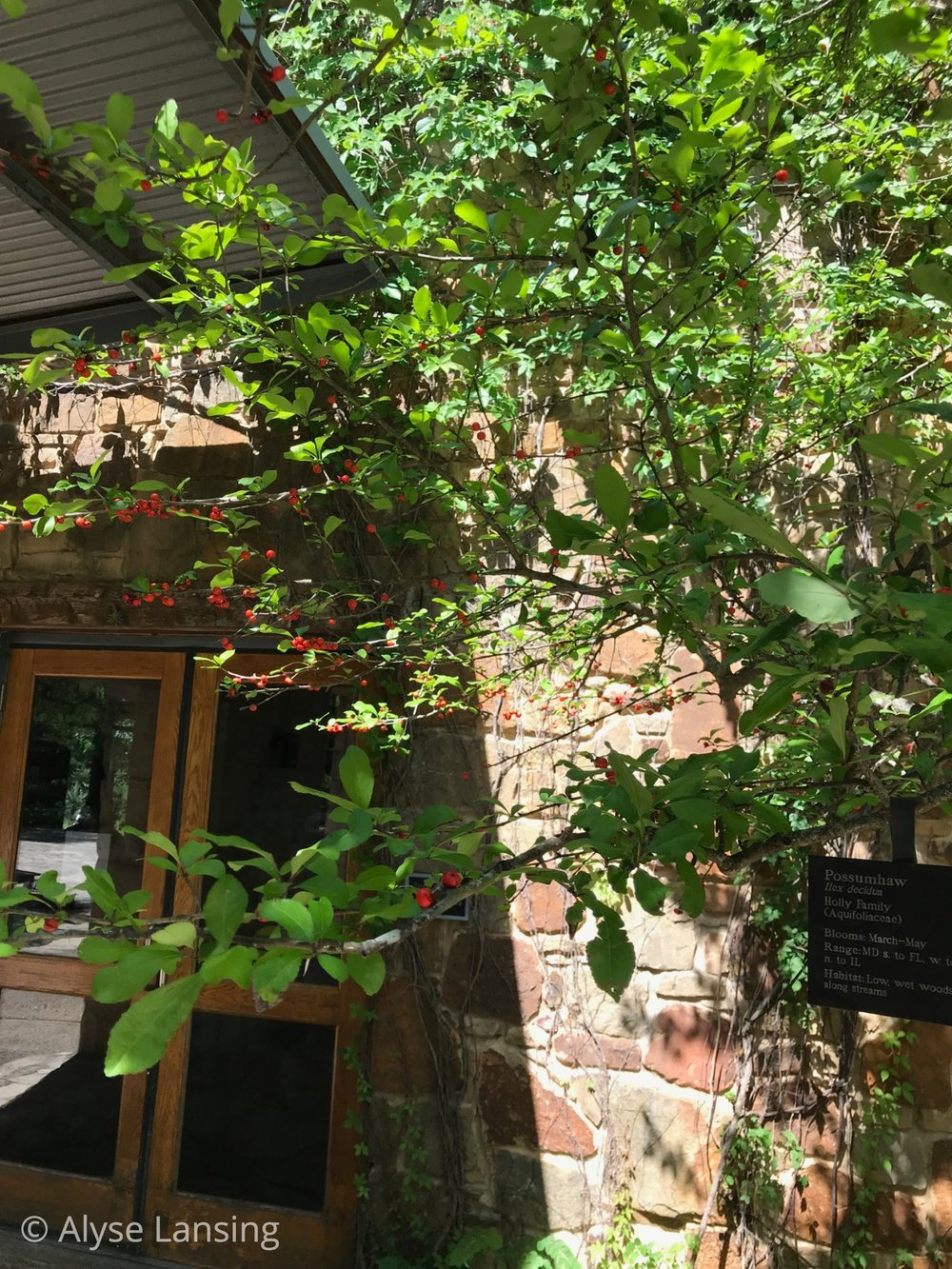 …and the berries are bright—a complement to both the leaves and the warm rocks of the building here.