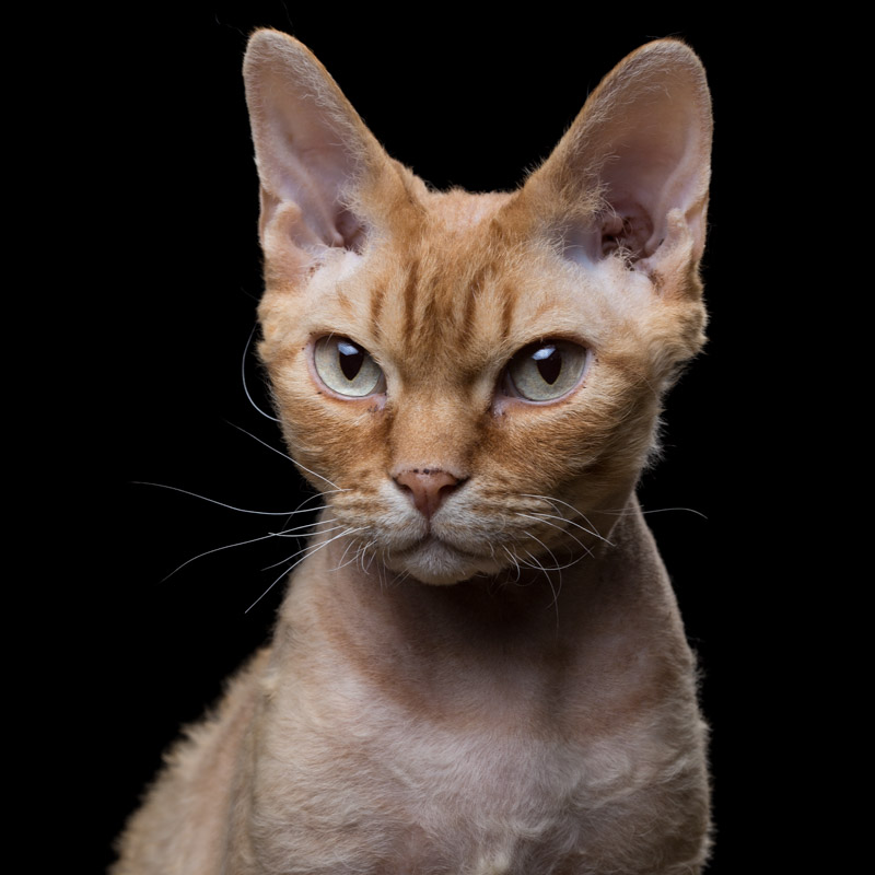Curly [5M] (Devon Rex) 1111.jpg