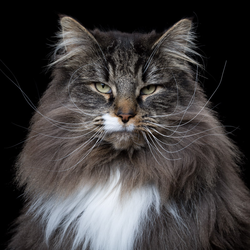 Diesel [4M] (Norwegian Forest Cat 118.jpg