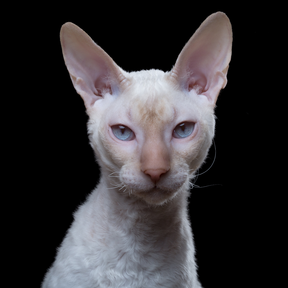 Joze [0.5M] (Cornish Rex) 0016.jpg