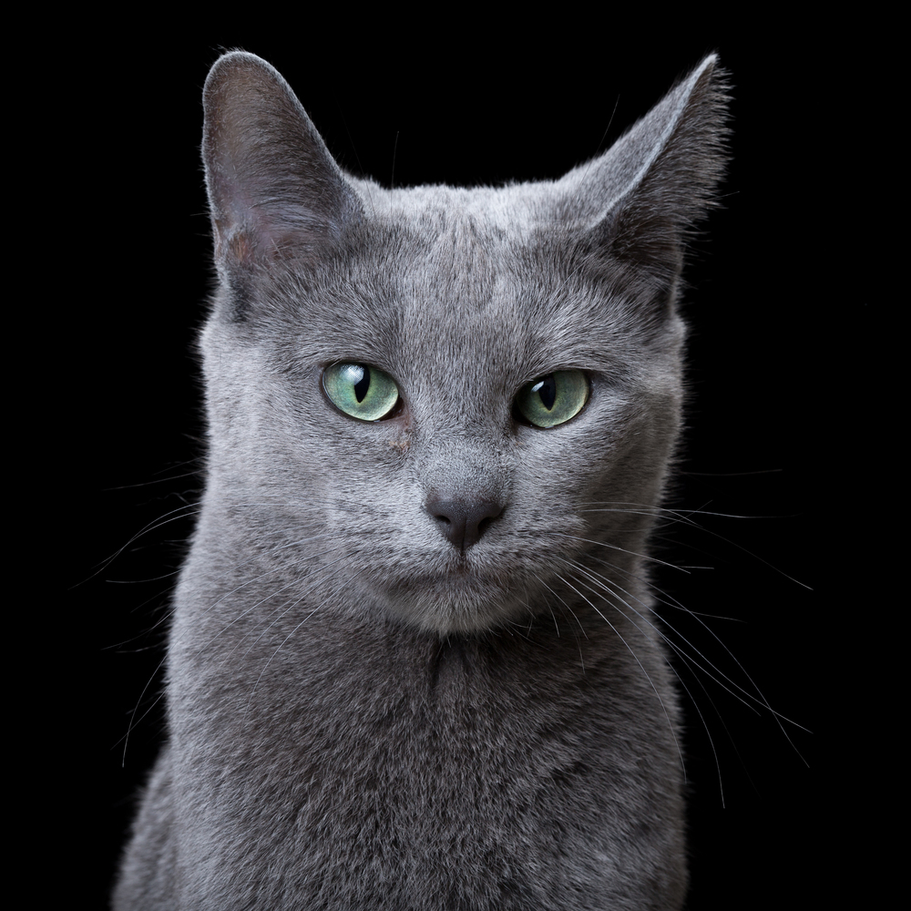 Name [ageF] (Russian Blue) 2340.jpg