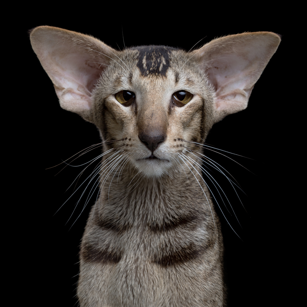Name [AgeGender] (Oriental Shorthair) 267.jpg