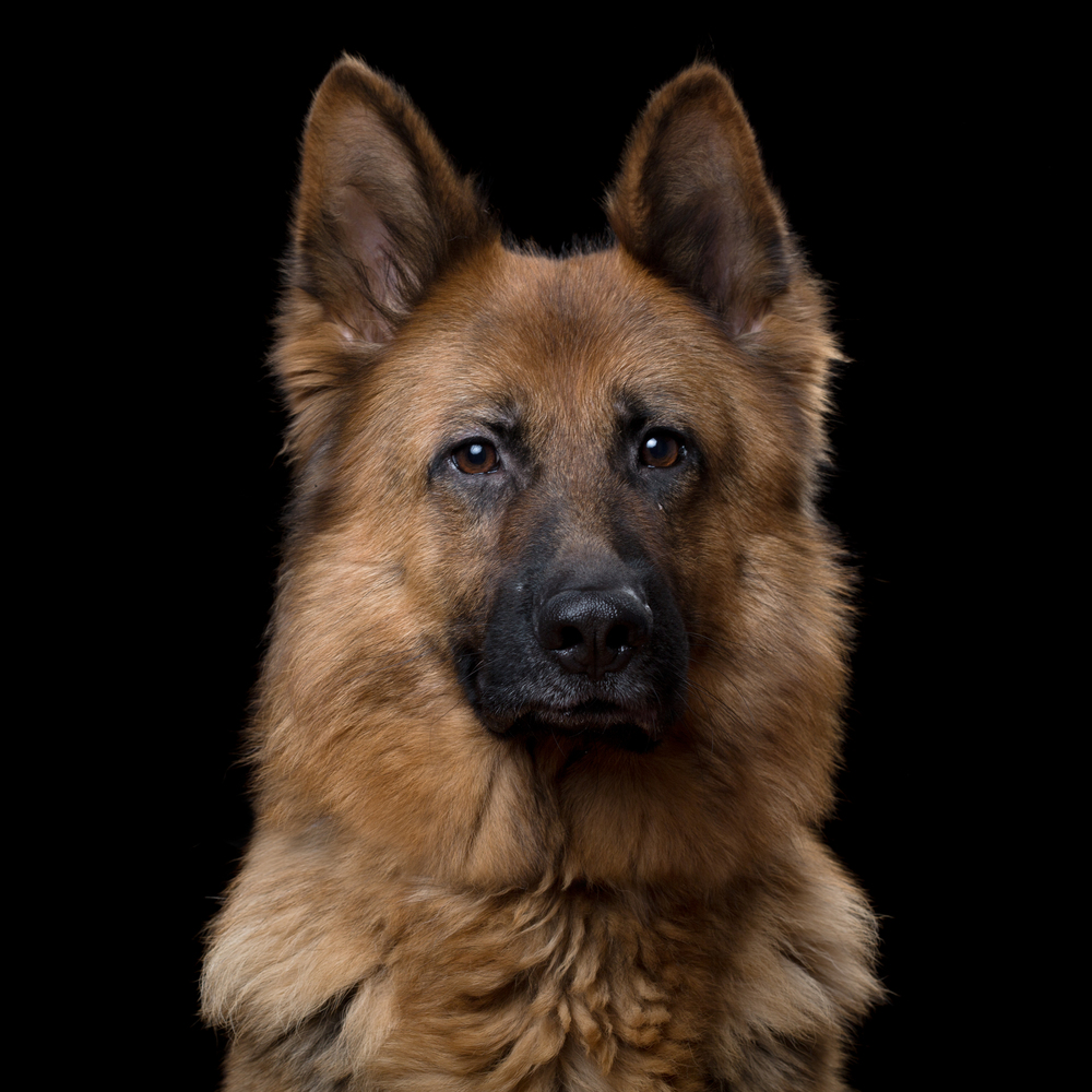 Chaos [3F] (German Shepherd) 230.jpg