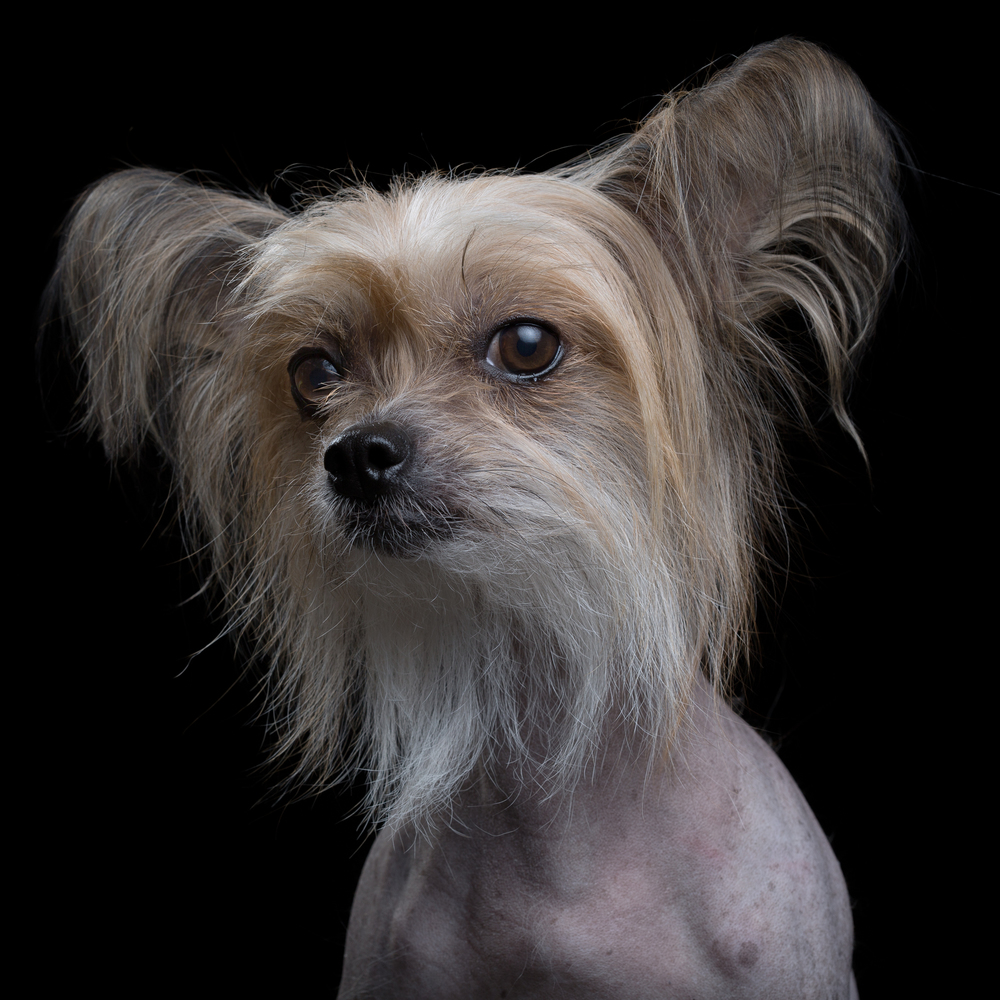 Mira [4F] (Chinese Crested Dog)1595.jpg