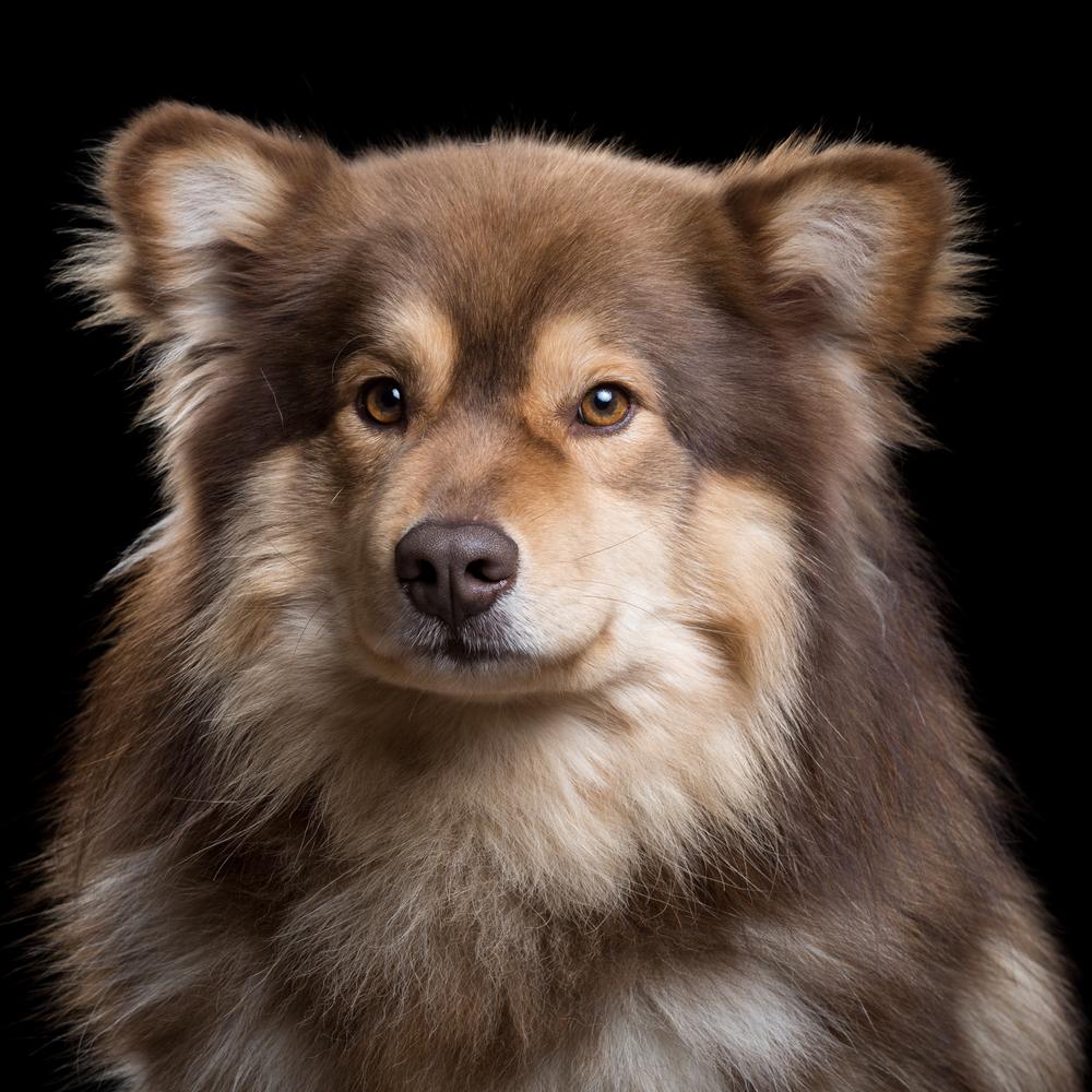 Ocho [2M] (Finnish Lapphund) 315.jpg