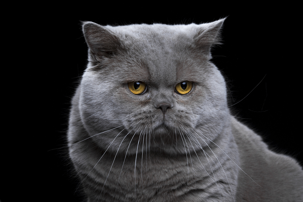 Whiseguy [3m] British Shorthair Wide138.jpg