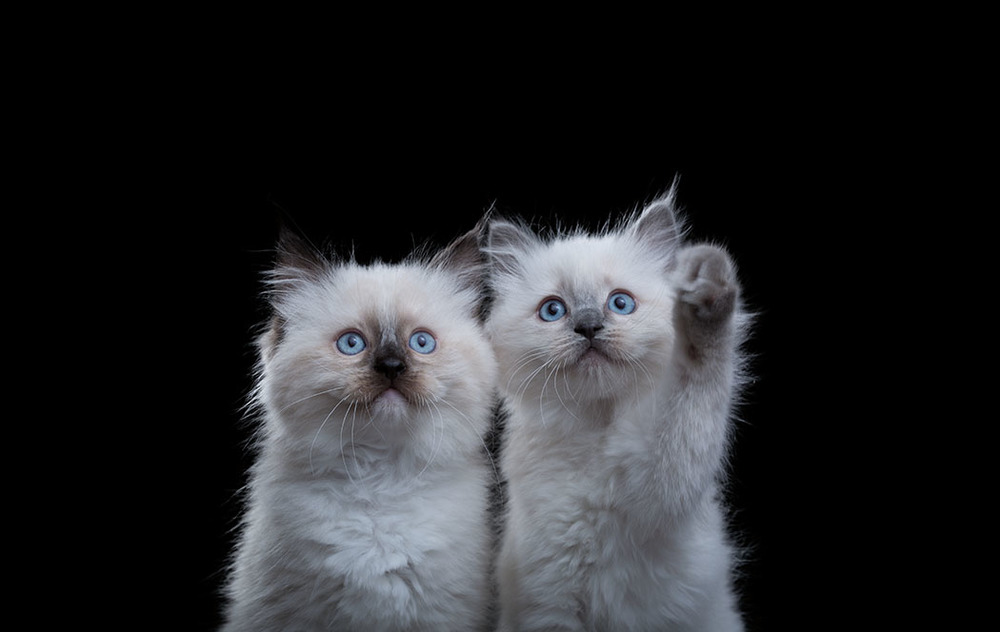 Ragdoll Kittens Website.jpg