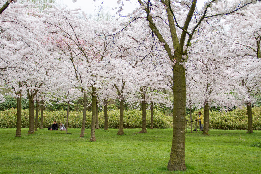 Não é impressionante tantas cerejeiras juntas?
