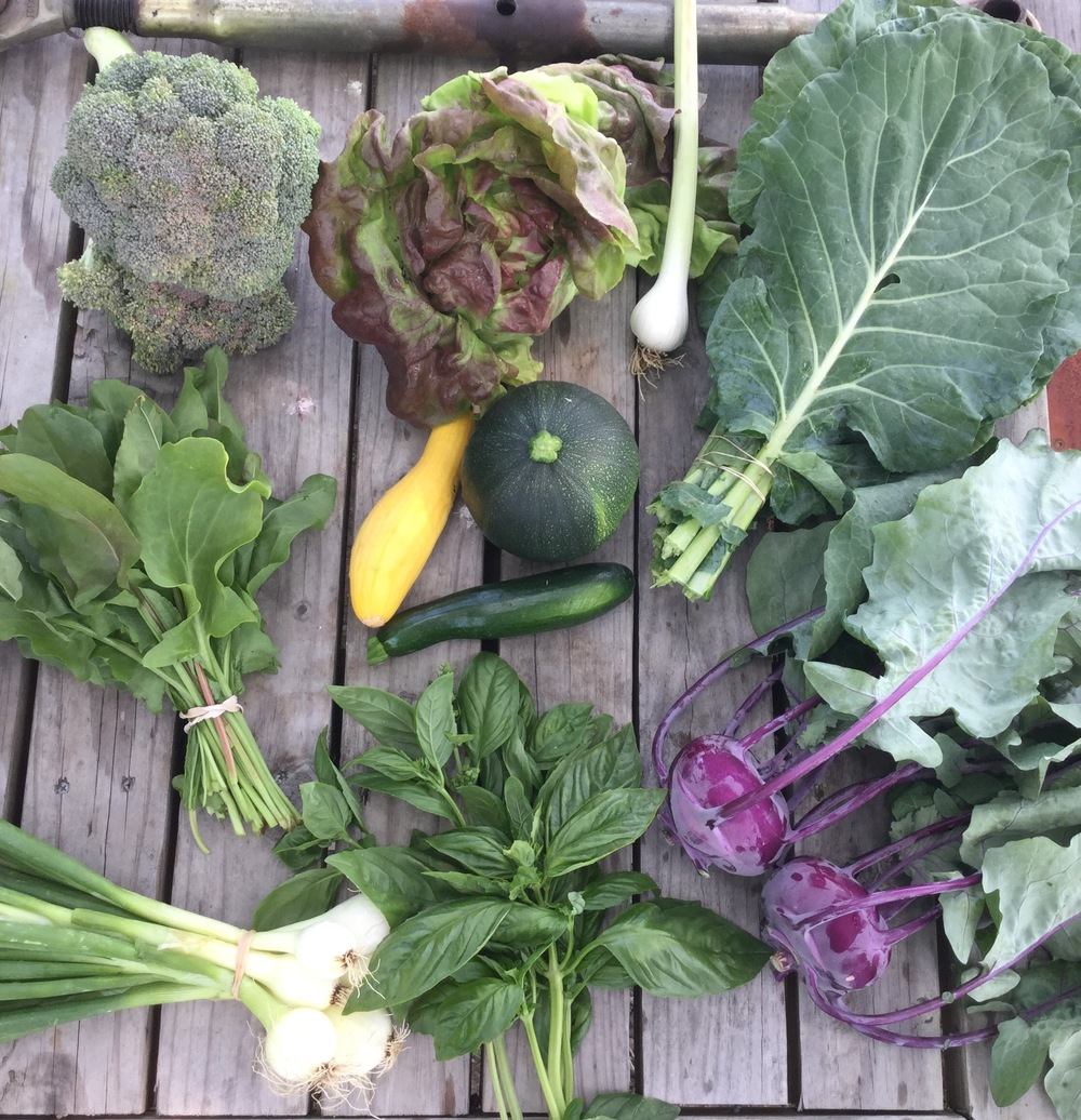 top left to right: broccoli, red bibb lettuce or romaine lettuce, garlic, and collard greens  middle left to right: French green sorrel, summer squash and zucchini  bottom left to right: vidalia onions, basil, and kohlrabi