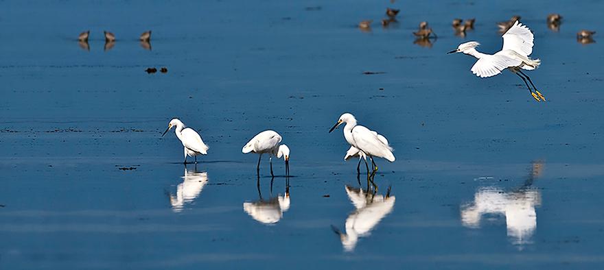 Snowy-Egrets.jpg