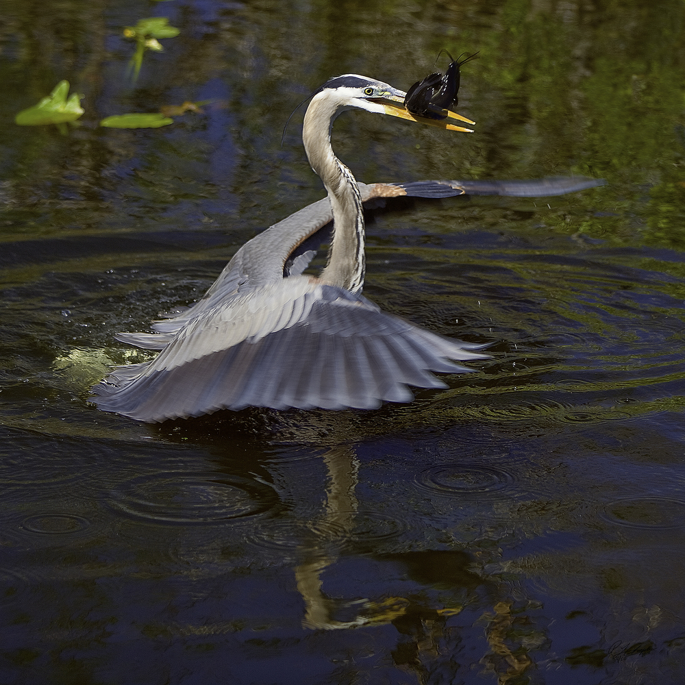 Great Blue Heron wEB iMAGE.jpg