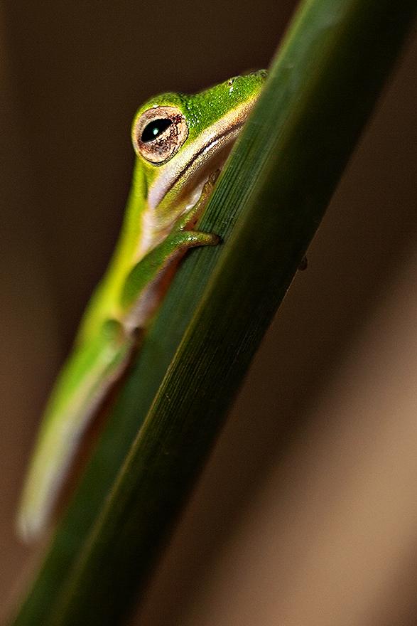Cricket_Frog_01.jpg