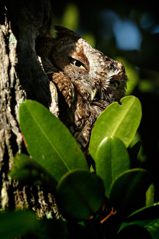 Screech-Owl-01.jpg
