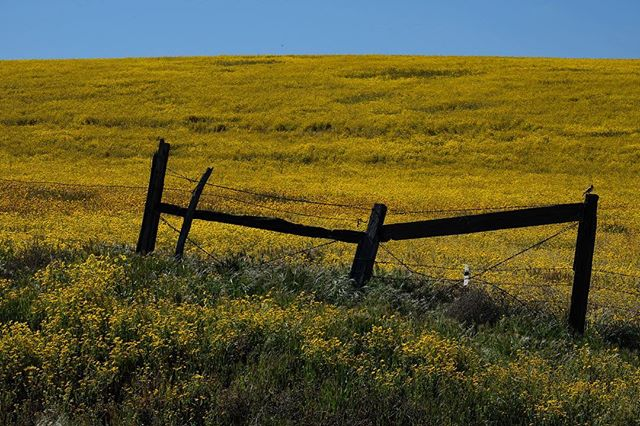 We visited Carrizo Plain National Monument last weekend to catch what the last of the wildflower super bloom and the goldenfields were gorgeous.