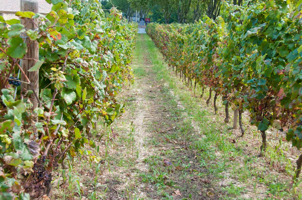 How do you tell which vines are organic? The vegetation is allowed to grow naturally.