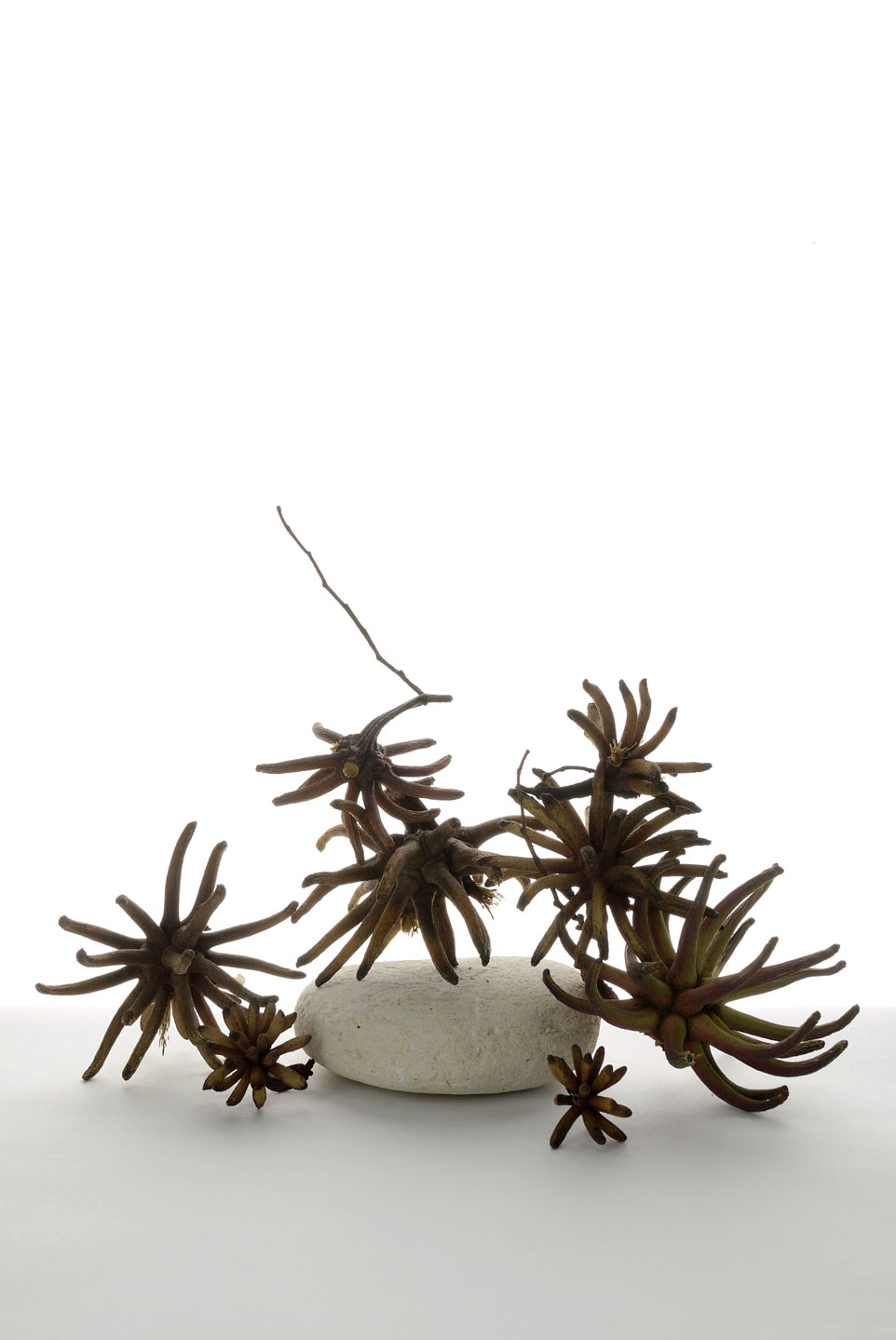 Veit-EucalyptusPods-web.jpg