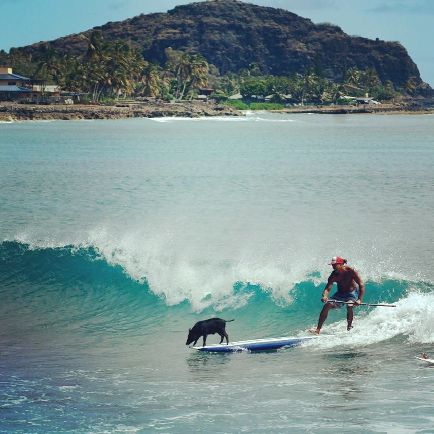 surfingpig2