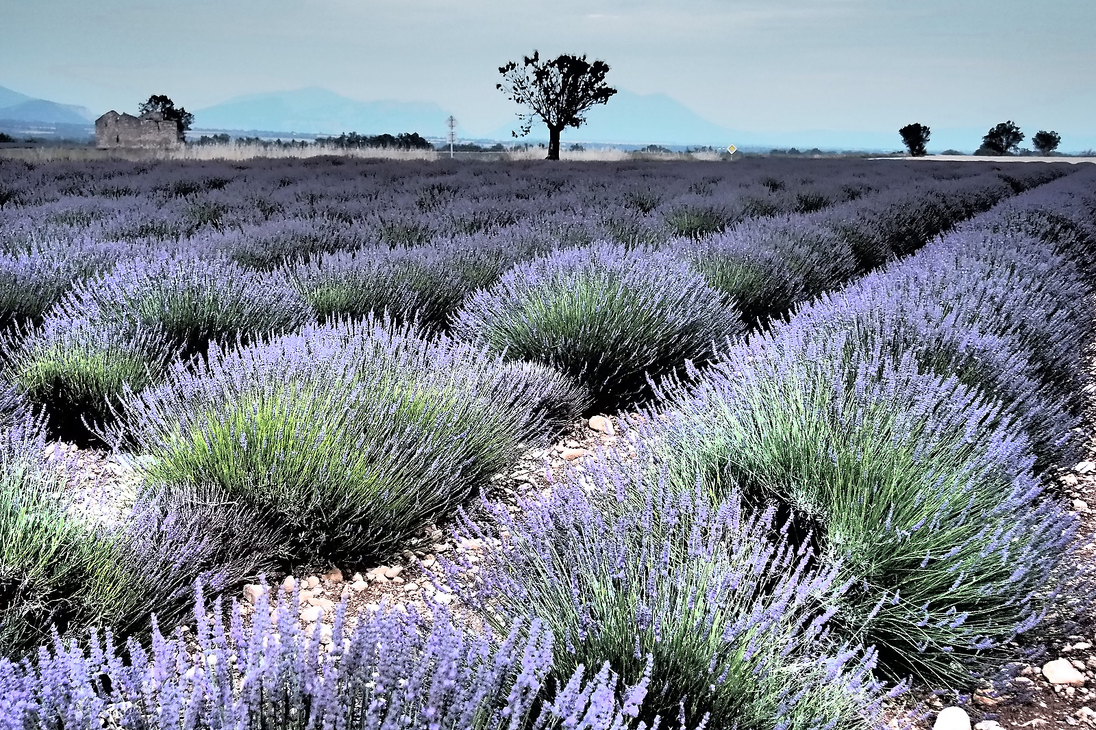 Lavender fields - we must be in Provence.
