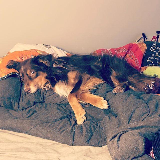 When a dogs just gotta chill a bit #australianshepherd #aussiesofinstagram #dogsofinstagram #puppylove