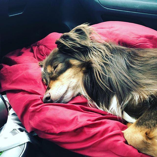 My copilot is really slacking on this trip to Iowa can't even stay awake for an hour of the trip #australianshepherd #aussiesofinstagram #dogsofinstagram #puppylove #sleepingdog
