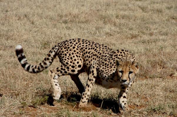 Cheetah Conservancy.JPG