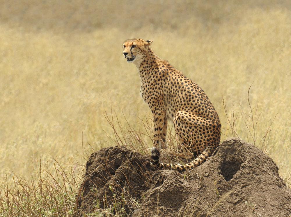 Cheetah6b.jpg