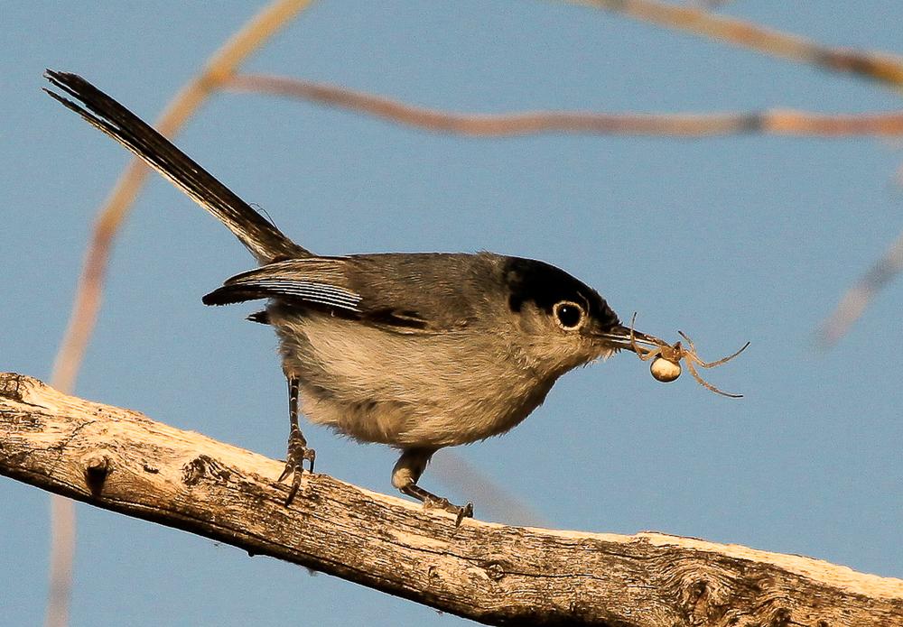 Black-tailed Gnatcatcher / Photo: Amy Leist