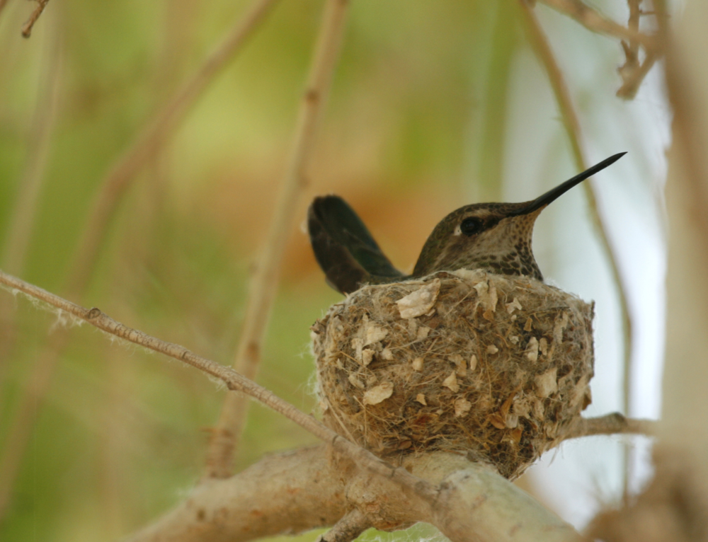 Anna's Hummingbird / Photo: Amy Leist