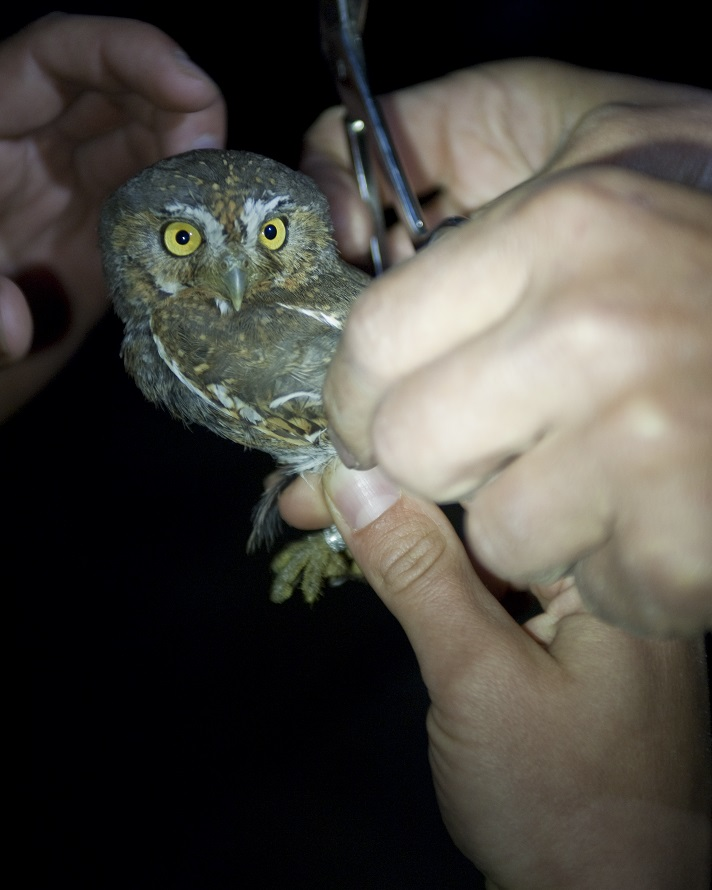 Elf Owl Habitat Use and Detectability