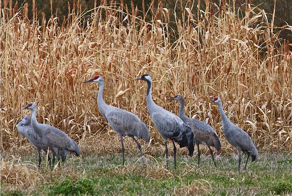 Common Crane / Photo: Aaron Ambos