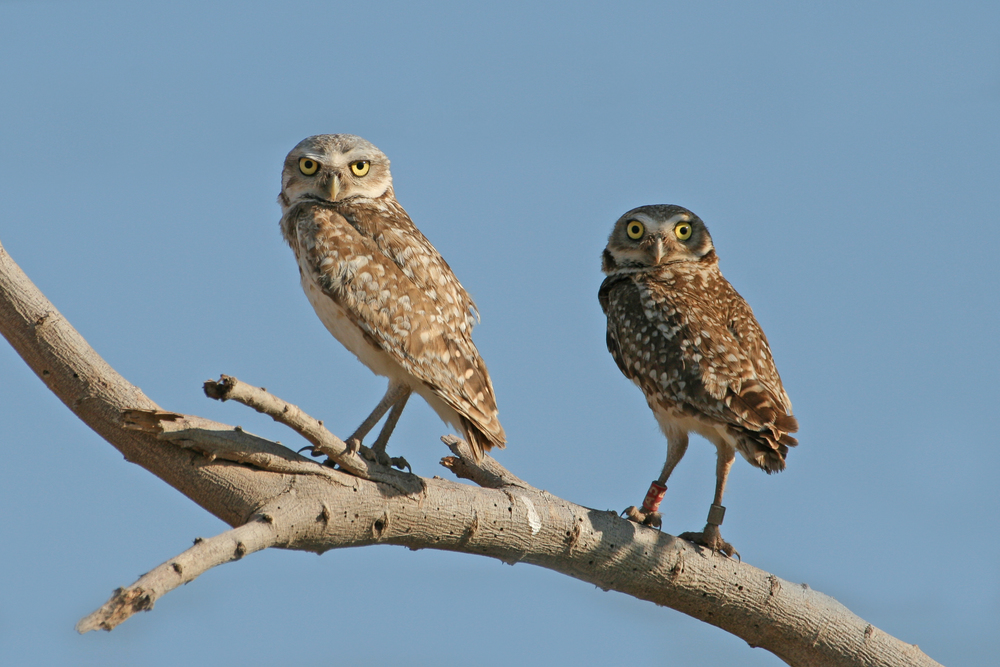 Burrowing Owls / Photo: Martin Meyers