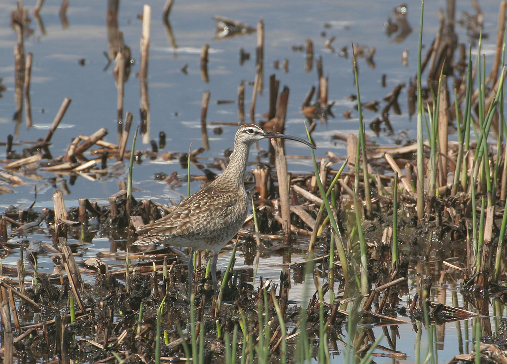 Whimbrel / Photo: Greg Scyphers