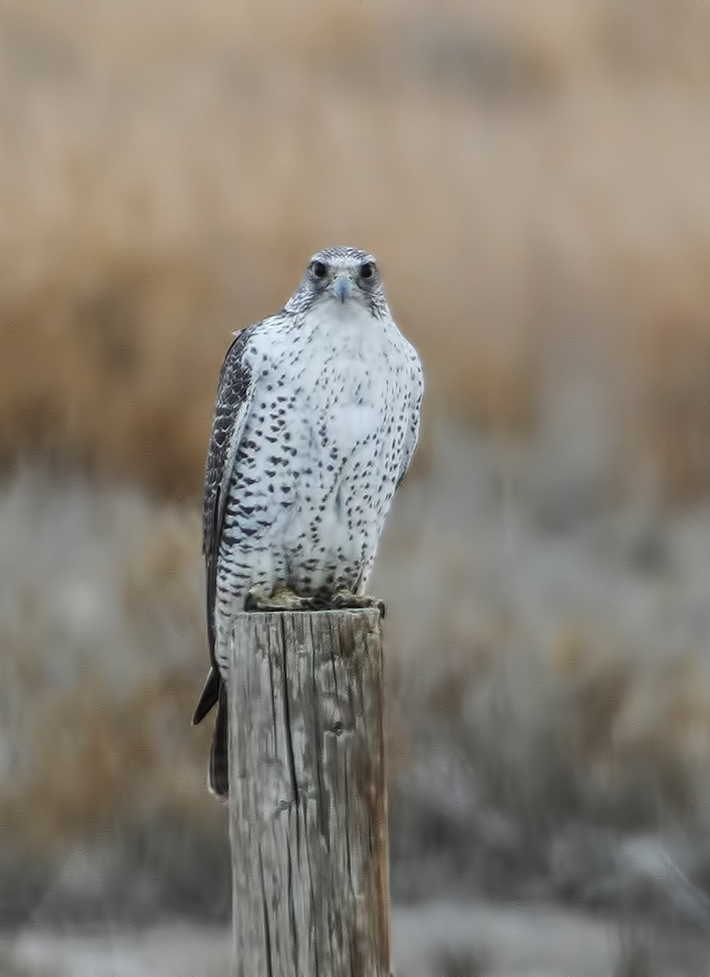Gyrfalcon / Photo: Greg Scyphers