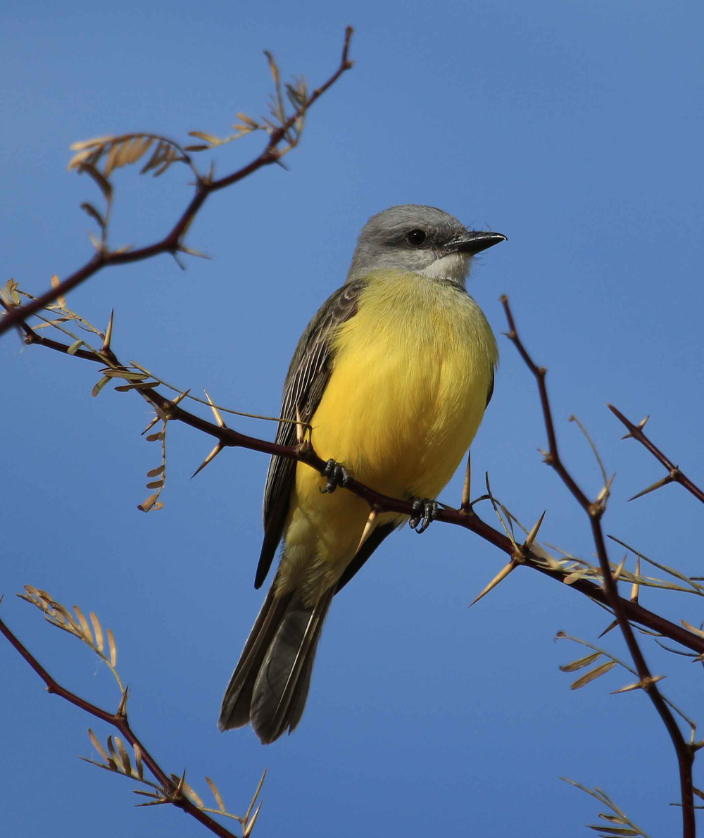 Couch's Kingbird / Photo: Deb Vogt