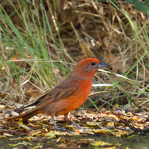 Hepatic Tanager / Photo: Bernadine Murray