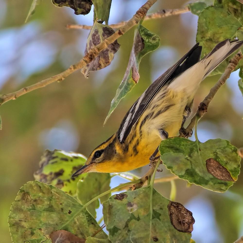 Blackburnian Warbler / Photo: Greg Scyphers