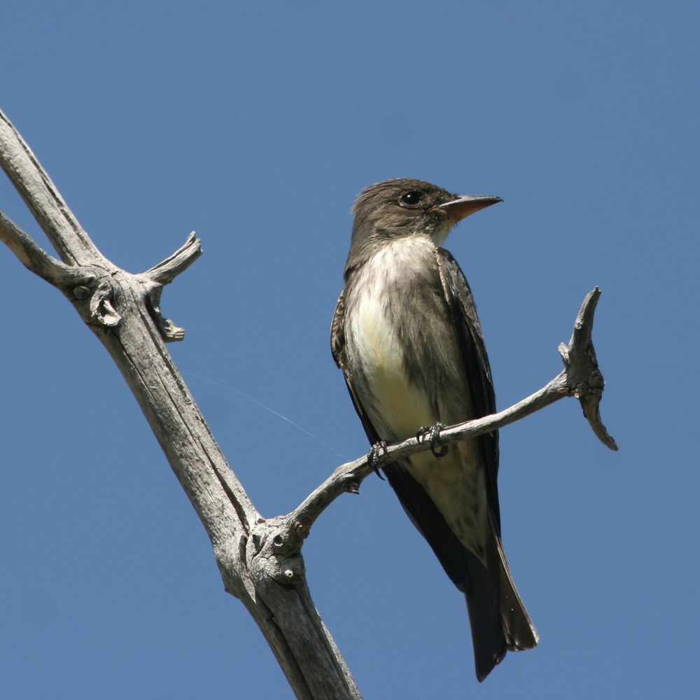 Olive-sided Flycatcher / Photo: Martin Meyers