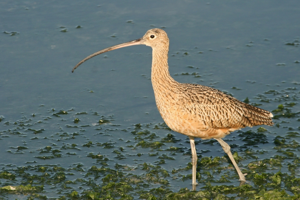 Long-billed Curlew / Photo: Martin Meyers