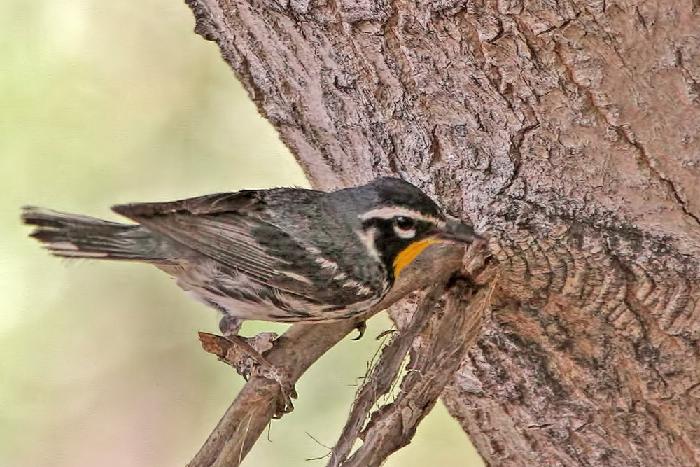 Yellow-throated Warbler / Photo: Martin Meyers