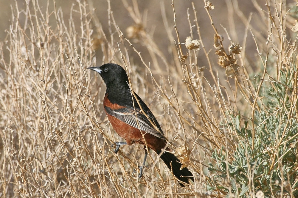 Orchard Oriole / Photo: Martin Meyers