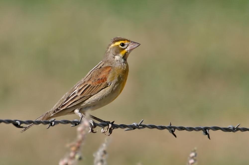Virginia's Warbler / Photo: Martin Meyers