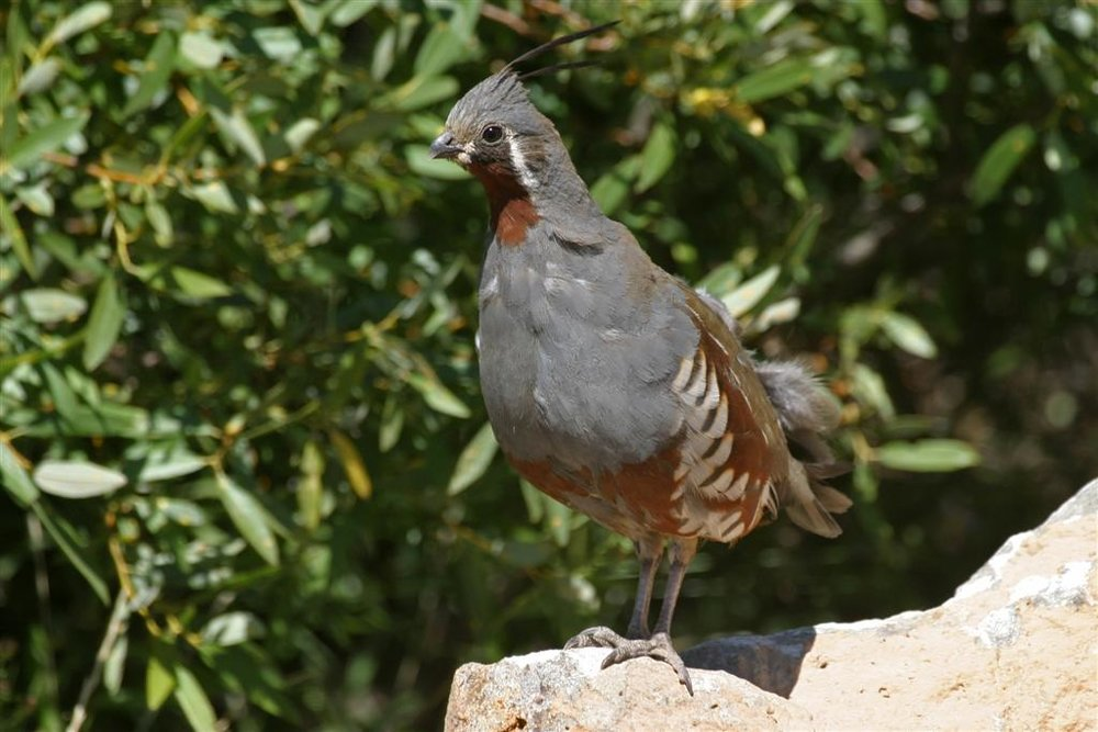 Mountain Quail / Photo: Martin Meyers