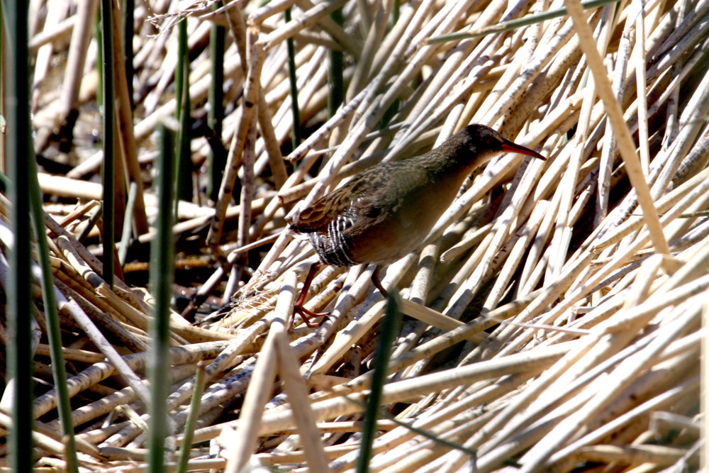 Virginia Rail during the Reno Hotspots field trip. Photo by Greg Hachigian.