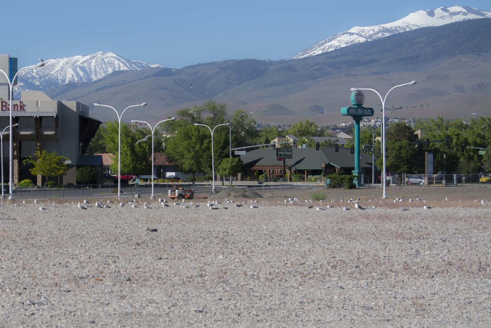 Winding down the conference, Geoff Walsh and Elisabeth Ammon spent Sunday morning taking (probably too many) photos of this urban nesting colony of California Gulls in the middle of Reno. Photo by Elisabeth Ammon.