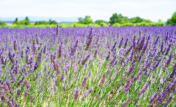Things To Do In Paso Robles 9th Annual Lavender Festival Hotel