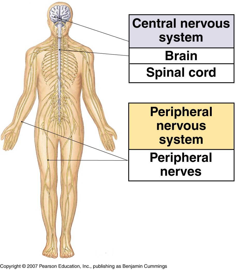 the nervous system — human systems