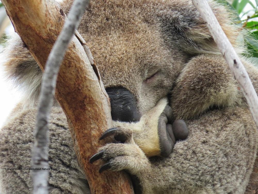 Koala Clancy