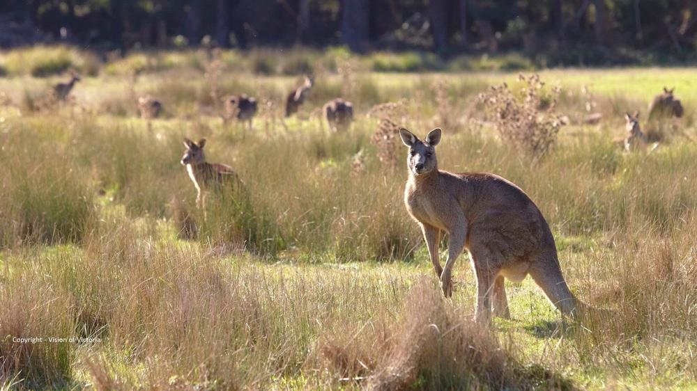 visionsofvictoria1349936-304 Eastern Grey Kangaroo.jpg